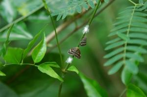 Ricaniidae from Vanuatu