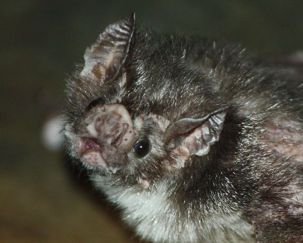 Photo of a Vampire Bat. Photo by Trisha Sears