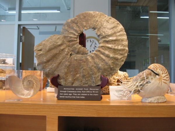 Photo of some cephaolopods in the Naturalist Center. On left is a clear plexiglass box with a cut chambered nautilus inside. In the center is a brown fossil ammonite. On the right is a brown and whites striped chambered nautilus. Photo by Trsh Weavern