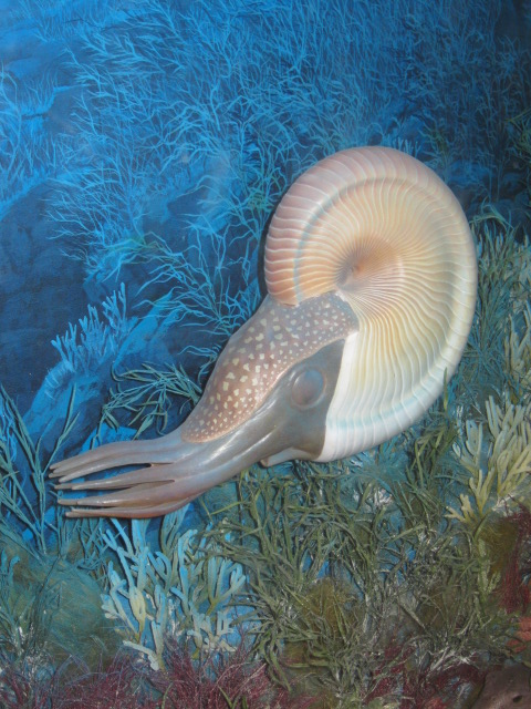 Photo of model of a nautiloid from a diorama in the Paleo. Hall. The background is  bluish-green the nautiloid has a witish coiled shell and brown tentacles. Photo by Trish Weaver