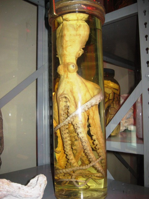 Photo of Preserved octopus in jar. Found in the Nature's Explorers Hall. Photo by Trish