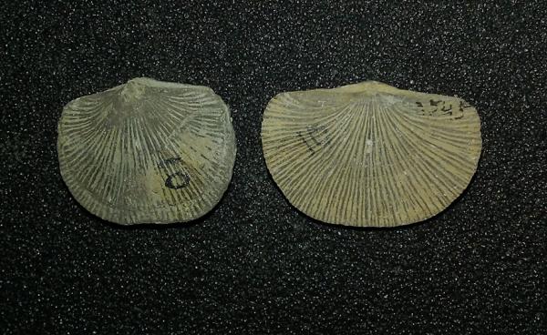 Photo of two Paleozoic brachiopods